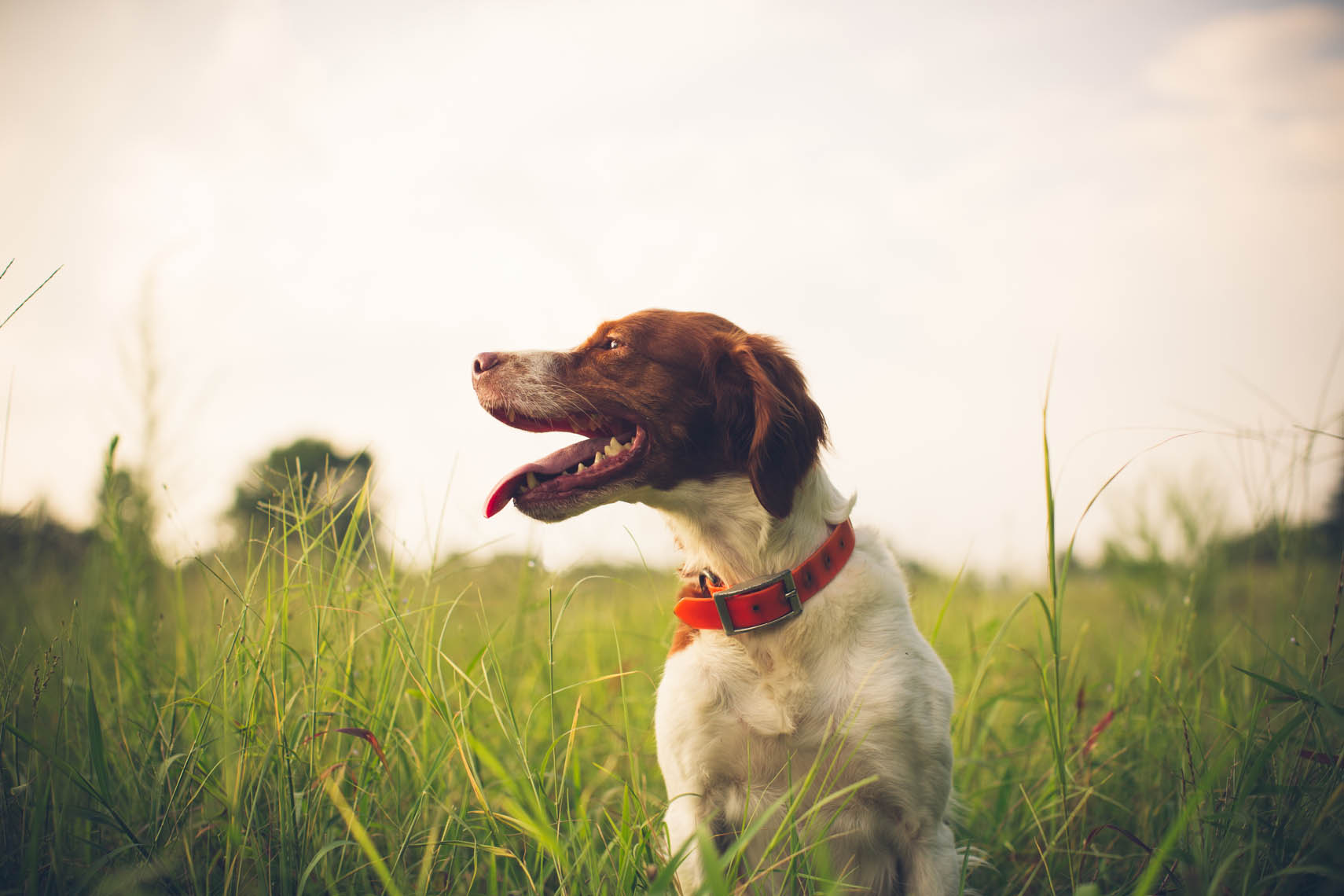 Leigh the 4 year old Brittany bird dog